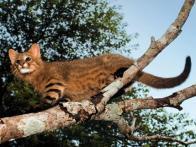 Imagem de gato-dos-pampas