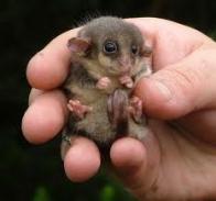 Imagem de gambá-pigmeu-da-tasmânia