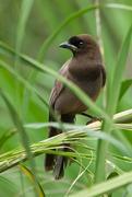 Imagem de gralha-do-pantanal