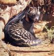 gato-de-algália