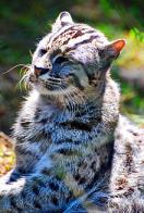 gato-pescador
