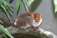 gato-de-cabe�a-chata