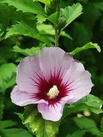 hibisco-da-síria
