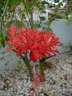 hibisco-crespo