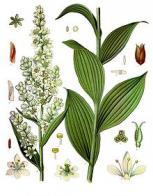 heléboro-branco