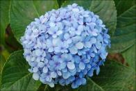 Imagem da flor hortênsia