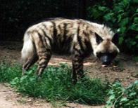 hiena-riscada