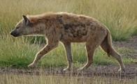 hiena-malhada