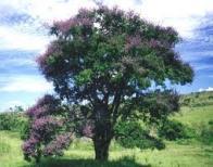 jacarandá-bico-de-pato