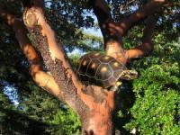 jabuti em cima da árvore
