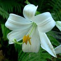 lírio-branco