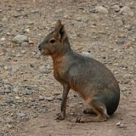 Imagem de lebre-da-patag�nia