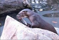 Imagem de lontra-de-sumatra