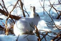 Imagem de lebre-da-tundra