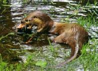 Imagem de lontra-do-brasil