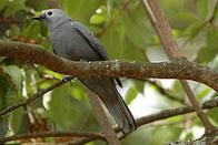 Imagem de lagarteiro-cinzento