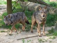 Imagem de lobo-ibérico