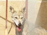 Imagem de lobo-árabe
