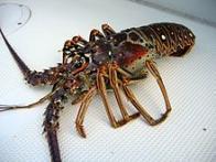 Imagem de lagosta-de-espinho