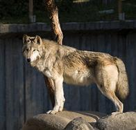 Imagem de lobo-ocidental