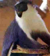 macaco-diana
