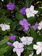 manacá-de-jardim