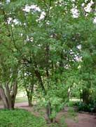 murta-vermelha