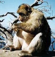 macaco-de-gibraltar