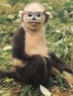 macaco-de-nariz-empinado