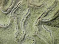 musgo-piraná