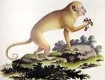 Imagem de macaco-prego-dourado