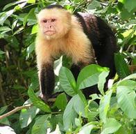 Imagem de macaco-prego-de-cara-branca