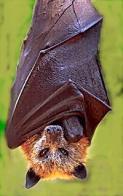 Imagem de morcego-da-fruta-de-sulawesi