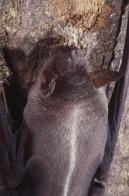 Imagem de morcego-pescador