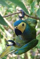 Imagem de maracanã-de-cara-amarela