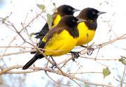 Imagem de melro-amarelo
