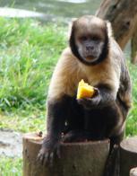 Imagem de macaco-prego