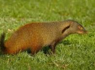 Imagem de mangusto-listrado