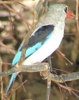 martim-pescador-do-mangue