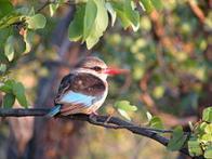 martim-pescador-de-barrete-castanho