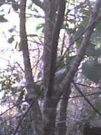 orelha-de-burro