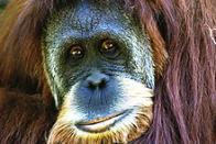 orangotango-de-sumatra