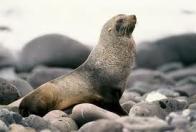 otária-da-antártida