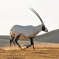 Imagem de órix-da-arábia