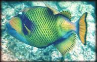 peixe-tigre-gigante