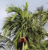 palmeira-de-betel