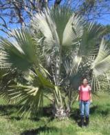 palmeira-de-bismark