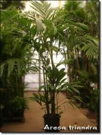 palmeira-tiandra