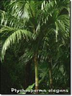 palmeira-solitária