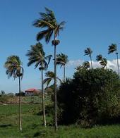 palmeira-princesa